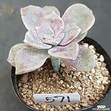 퍼플딜라이트0615-571|Graptopetalum Purple Delight