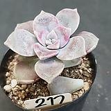퍼플딜라이트0615-217|Graptopetalum Purple Delight