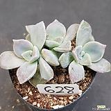 퍼플딜라이트0615-628|Graptopetalum Purple Delight