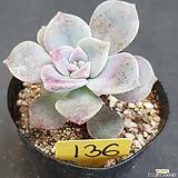 퍼플딜라이트0615-136|Graptopetalum Purple Delight