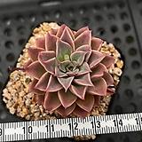판타스틱파운틴 나이배기 - 주성농원 Crassula hemisphaerica