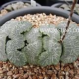 옥선 이나바우어 자구 - 주성농원 (Haworthia truncata Ina Baur, offset) Haworthia truncata