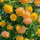 분홍알비프로스.분홍헤만투스.분홍털군자란.분홍밍크붓꽃