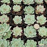 (랜덤100개)치와와(금무지)(개당 가격입니다)|Echeveria chihuahuaensis