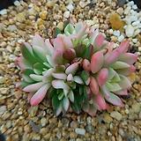 핑클루비금(적심)|Sedeveria pink rubby