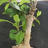 바오밥 디지타타 아프리카식물06177|