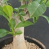 바오밥 디지타타 아프리카식물06198|