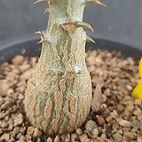 바로니 윈저리 아프리카식물06177|Pachypodium baronii