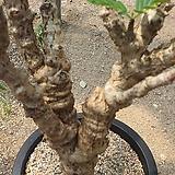 세나 메르디오날리스 아프리카식물06177|