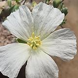 사르코 카울론 크라시카울 아프리카식물 06821|