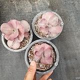 Echveria pink Frill