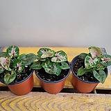 싱고니움드워프(수입식물)  소량입고 Graptopetalum rusbyi