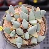 체리톱스 0618-100|Cheiridopsis candidissima