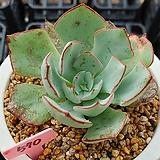 스트릭트플로라|Echeveria strictiflora v nova