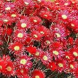 노지월동 되는 빨강 송엽국