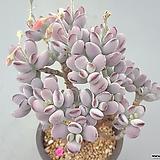 Cotyledon orbiculata cv