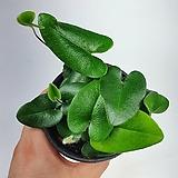 하트고사리 하트펀 공기정화식물 한빛농원|