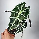 거북알로카시아 알로카시아 아마조니카 공기정화식물 한빛농원|