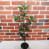월계수나무(외목)|