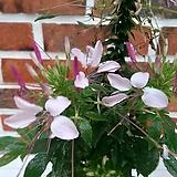 족두리꽃(화이트핑크)(중품)|