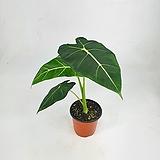 알로카시아 프라이덱 10 공기정화식물 한빛농원 초특가|