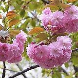 겹벚나무(대품)|