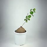 스테파니아 에렉타 사진상품발송 공기정화식물 한빛농원|