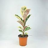 수채화고무나무 수채화 고무나무 공기정화식물 한빛농원|
