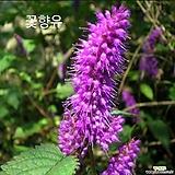 1000립 / 꽃씨앗 꽃향유 씨앗 종자씨앗 야생화 씨앗모음 할인|