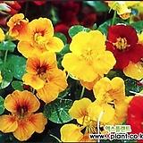 꽃씨앗(15립) 한련화 씨앗 종자씨앗 미니코스모스 야생화 씨앗모음 할인|Echeveria Mose