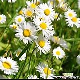 30립 / 꽃씨앗 고급종 마가렛 화이트 흰색 씨앗 종자씨앗 야생화 씨앗모음 할인|Echeveria halbingeri