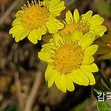10립 / 꽃씨앗 감국 씨앗 종자씨앗 야생화 씨앗모음 할인|