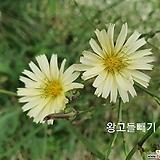 꽃씨앗(100립) 왕고들빼기 약초 씨앗 종자씨앗 야생화 씨앗모음 할인|