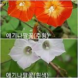 혼합 50립 / 꽃씨앗유홍초 애기나팔꽃 혼합 오렌지 화이트 주황 흰색 종자씨앗 야생화 씨앗모음 할인|
