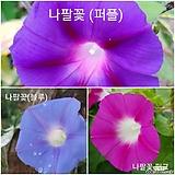 혼합 50립 꽃씨앗 나팔꽃 핑크 퍼플 블루 분홍 파랑 보라 고급종 씨앗 종자씨앗 야생화 씨앗모음 할인|