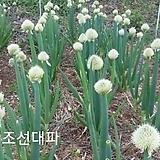 50립 조선대파 채소 약초 대파 씨앗 종자씨앗 야생화 씨앗모음 할인|