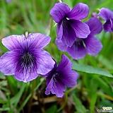 꽃씨앗(10립)제비꽃 보라 퍼플 비올라 팬지 씨앗 종자씨앗 야생화 씨앗모음 할인|Echeveria Pansy