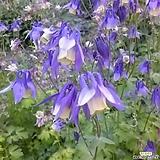 100립 꽃씨앗 매발톱 아킬레기아 씨앗 종자씨앗 야생화 씨앗모음 할인|