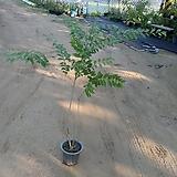 좀작살나무(대품)|