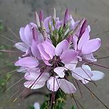 족두리꽃(야생화 중품) 핑크|