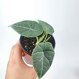 알로카시아 마하라니 S 공기정화식물 한빛농원|