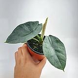 알로카시아 레지네 S 공기정화식물 한빛농원|