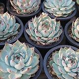 치와와 목대 [랜덤발송] 0727-37|Echeveria chihuahuaensis