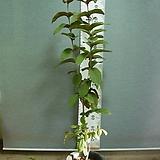 레드구아바 말레이시아 3번-희귀종-자엽의 붉은열매-년중열림-동일품배송 |