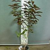 레드구아바 말레이시아 4번-희귀종-자엽의 붉은열매-년중열림-동일품배송 |