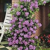 프랑스장미.로사 보라색.라벤다보라old rose 진한향기.아주좋은상품.예쁜보라색(꽃형 예쁜형).색상너무예쁨.꽃9-10cm.울타리.월동가능.상태굿..늦가을까지 피고 합니다.인기상품.|