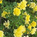 프랑스장미.로사 노랑색.old rose 진한향기.아주좋은상품.예쁜생노랑색(꽃형 예쁜형)색상너무예쁨.꽃9-10cm.울타리.월동가능.상태굿.늦가을까지 피고 합니다.인기상품.|