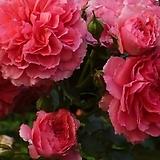 프랑스장미.로사 핑크색.old rose 진한향기.아주좋은상품.예쁜진핑크색(꽃형 예쁜형).색상너무환상.꽃9-10cm.울타리.월동가능.상태굿..늦가을까지 피고 합니다.인기상품.|