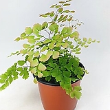 핑크아디안텀 스큐텀 로지움 고사리 공기정화식물 한빛농원|