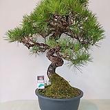 소나무 164 